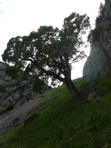 08 20150625_165818 Bergahorn an den Blankenstein-Südwänden invers gesehen